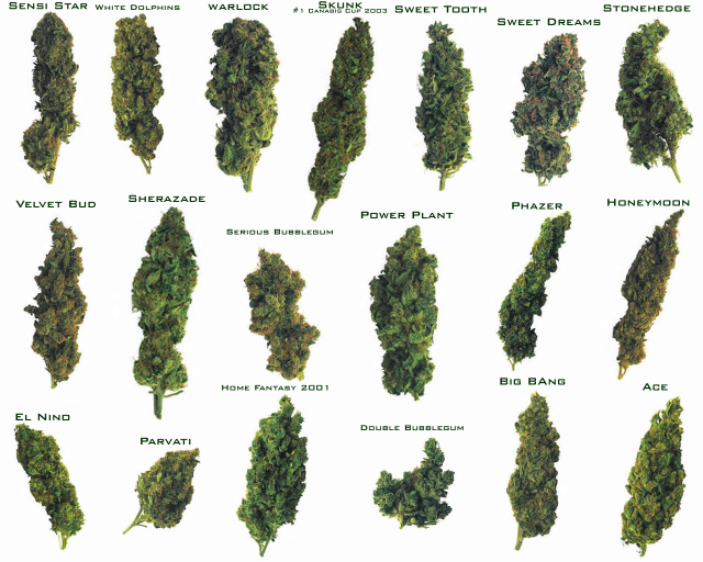 an analysis of cannabis as one of the most controversial and most misunderstood genus of the plant k