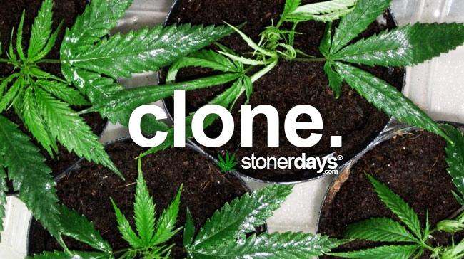clone-marijuana