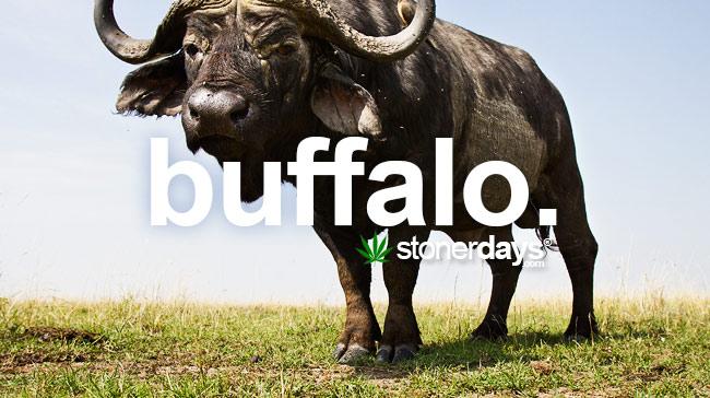 buffalo-chokes-marijuana