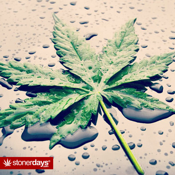 marijuana-leaf-wet