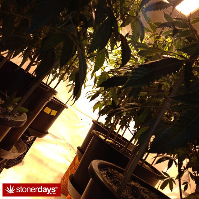 growing-weed-pictures-(6)