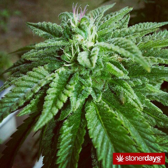 hot-stoners-bong-weed-pics (156)