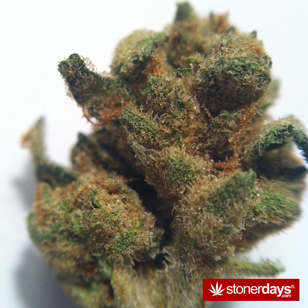 jack-frost-strain