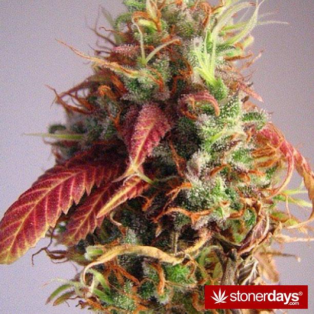 marijuana-pics-(1)