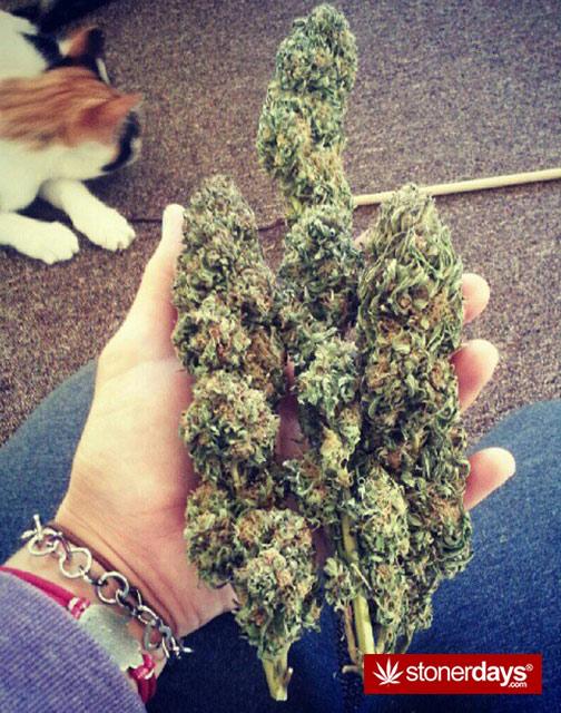 marijuana-pics-(27)