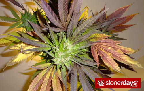 marijuana-pics (7)