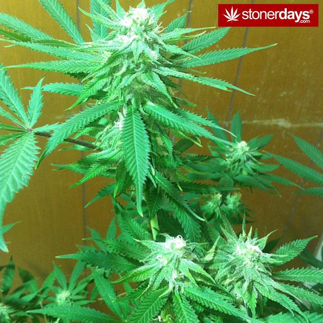happy-420-stoned-marijuana (16)
