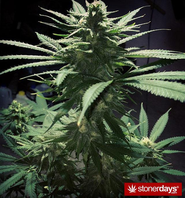 happy-420-stoned-marijuana (186)