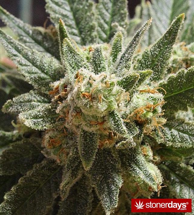 happy-420-stoned-marijuana (22)