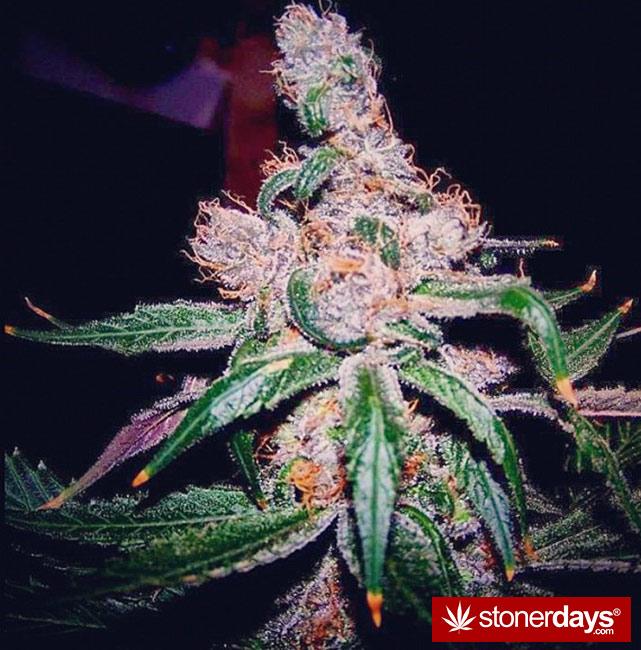 happy-420-stoned-marijuana (261)