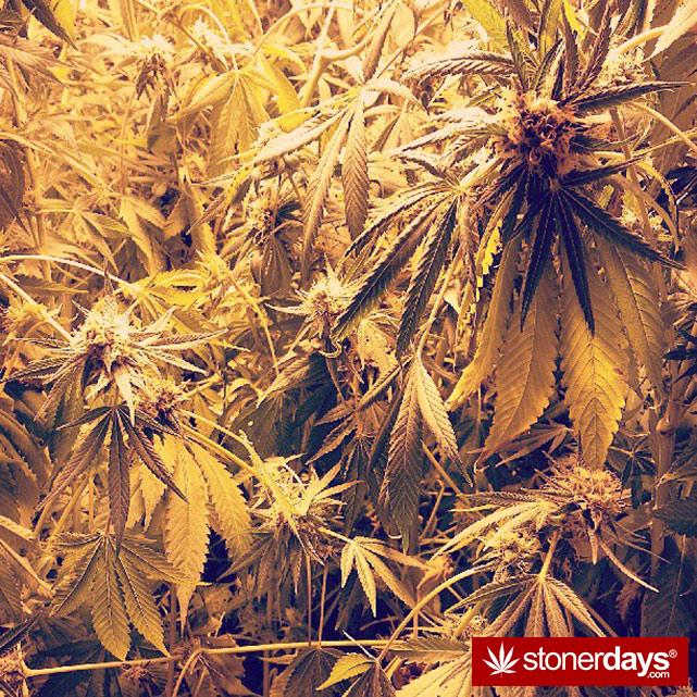 happy-420-stoned-marijuana (37)