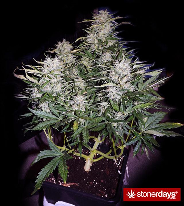 stoner-ganja-pothead-reefer (387)
