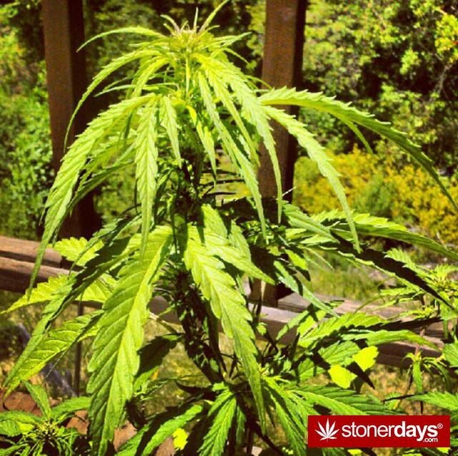 stoners-pics-of-pot-marijuana-pictures (277)