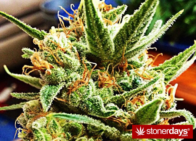 stoners-pics-of-pot-marijuana-pictures (305)