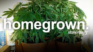 homegrown-marijuana-term