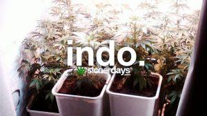 indo-marijuana-slang