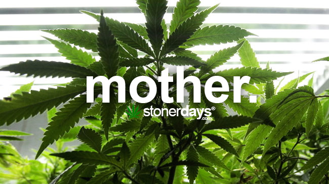 mother-marijuana-plant