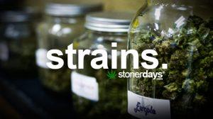 strains-marijuana-term