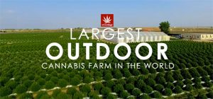 Largest-Outdoor-Cannabis-Farm-in-the-World